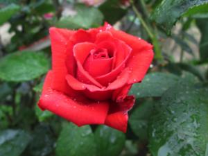 flirten met een roos